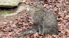 4K footage of a Wildcat (Felis silvestris) mother with her kitten Stock Footage