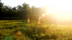 Horses at sunset No.2 Stock Footage