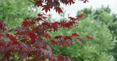 Red Japanese Maple MS Stock Footage