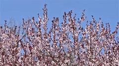 Pink Sakura Cherry Tree Flowers Stock Footage