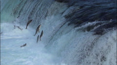 Salmon Jumping a Waterfalls - 50% Slow Motion and Flipped 180 degrees - stock footage
