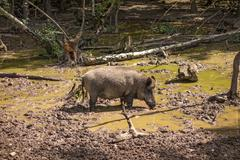 Stock Photo of Feral pig, wild hog boar