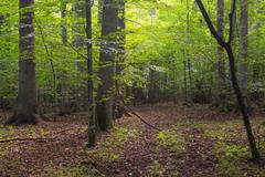 Summertime deciduous stand of Bialowieza Forest and path crossing Stock Photos