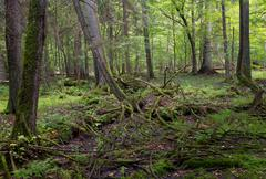 Primeval deciduous stand of Bialowieza Forest in summer withalmost declined s Stock Photos