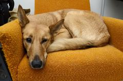 Brown mongrel dog lying in the orange chair Stock Photos