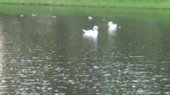 Russia Saint-Petersburg 2015 two white swans on water 2 Stock Footage