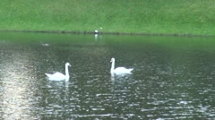 Russia Saint-Petersburg 2015 two white swans on water Stock Footage