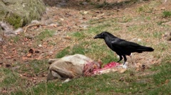 4K footage of a raven feeding on a deer carcass - stock footage