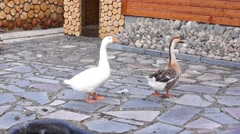 Gaggle of geese Stock Footage