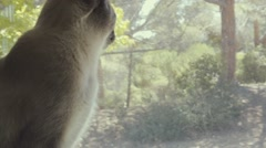 Siamese Cat Looks Out Window - stock footage