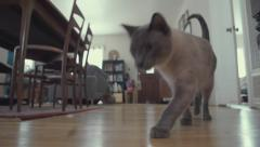 Cute Cat Walks to Camera and Eats Kibble Stock Footage