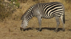 Zebra moving ears and tail while grazing Stock Footage