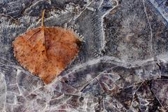 Backgrounds, abstraction. Frozen in ice sprig of linden. - stock photo