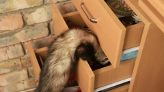 Ferret In a Drawer Stock Footage