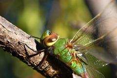 Green Dragonfly Stock Photos