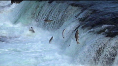Medium Shot of Dozens of Salmon Jumping the Falls - Video Flipped 180 degrees Stock Footage