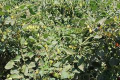 Young tomatoe garden Stock Photos