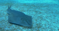 Stock Video Footage of A Common Guitarfish shark swimming on the sea bed