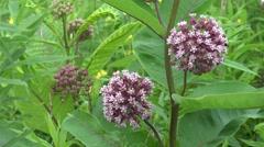 Flowering Milkweed Plant Stock Footage