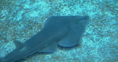 A Common Guitarfish shark swimming on the sea bed Stock Footage