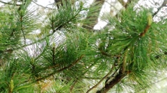 Cedar branch swaying in the wind. Siberia. Khakassia. Stock Footage