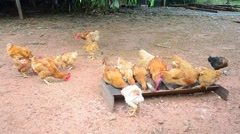 Betong chicken farm by farmers in the three southernmost provinces of Thailand Stock Footage