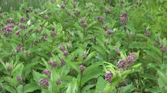 Flowering Milkweed plants Stock Footage