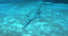 A Longcomb Sawfish swimming on the sea bed Stock Footage