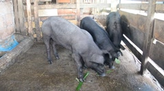 Large Black Pig eating at farm in Pattalung, Thailand. - stock footage