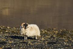 Sheep Shore Ocean Scotland Stock Photos