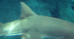 A group of Sandbar Sharks Stock Footage