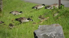Canada Geese and Goslings walking up a Grass Bank #1 Stock Footage