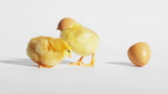 Baby chicks play with an eggshell on a white background Stock Footage