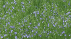 Field of flax blooming - full screen Stock Footage