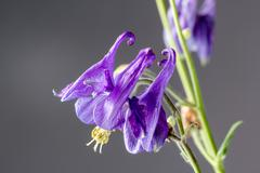 Aquilegia vulgaris European - stock photo