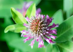 Flowers Clover (Trifolium), or trefoil Stock Photos