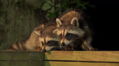 Stock Video Footage of Baby raccoons on a railing