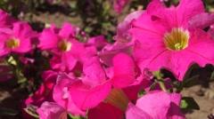 Pink Petunia flower shaken wind close up slider shot - stock footage
