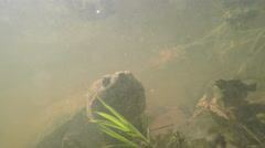 Underwater view of snapping turtle Stock Footage