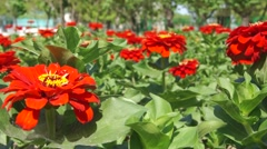 Red flowers on a flowerbed close up slider shot Stock Footage