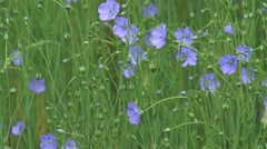 Flax (Linum usitatissimum) - close up flowers and capsules Stock Footage