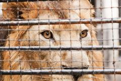 Lion in a cage - stock photo