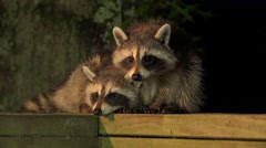 Baby raccoons on a railing - stock footage