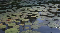 Countless lily pads on dark water Stock Footage