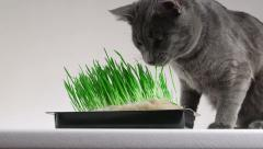 Young gray cat eating home grown grass Stock Footage