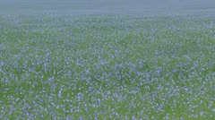 Flax cultivation (Linum usitatissimum) blue field - full screen Stock Footage