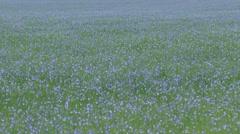 Flax cultivation (Linum usitatissimum) blue field - full screen Stock Footage