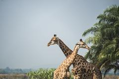 Giraffes standing near palm trees under blue sky Stock Photos