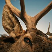 Close up of eye, ear and antler of elk Stock Photos