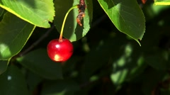 Red cherry hanging on a branch Stock Footage